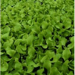 Sazenice salátu