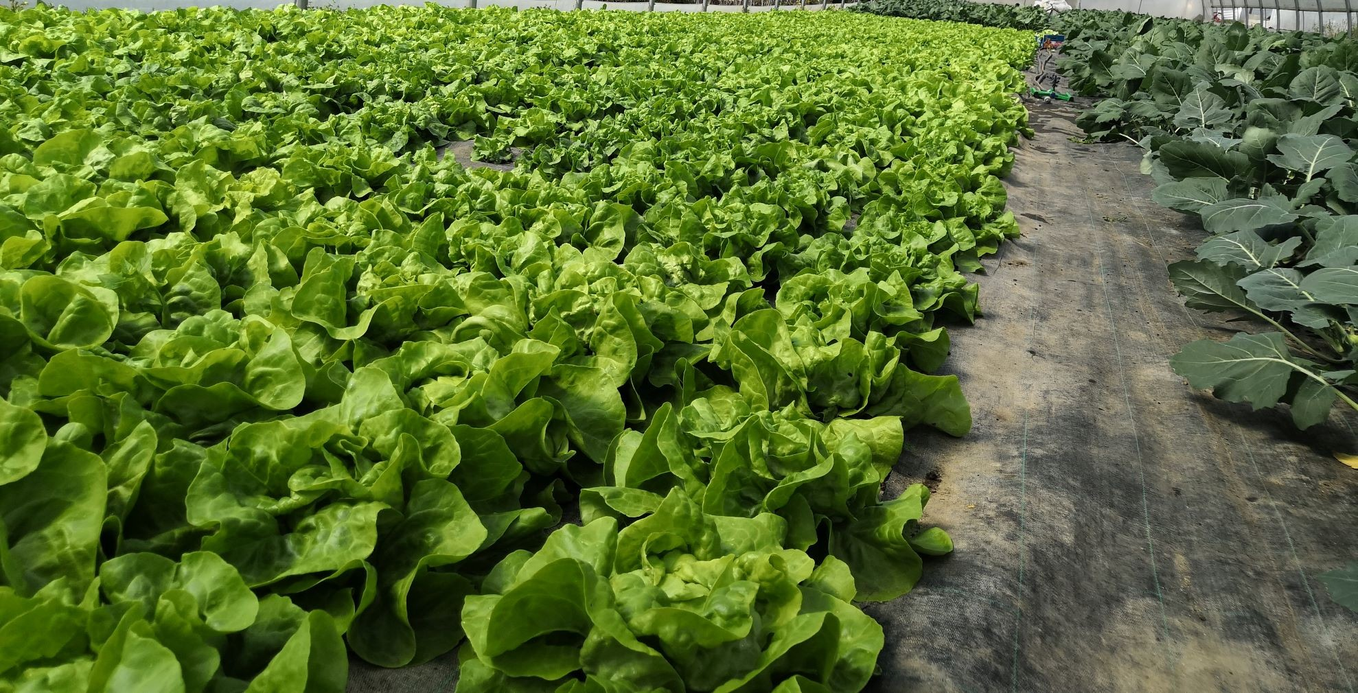 Vlastní produkce zeleniny